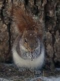 Freezing Squirrel Snacks on a Cold Winter Day Royalty Free Stock Image