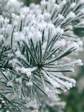 freezy πεύκο Στοκ φωτογραφία με δικαίωμα ελεύθερης χρήσης