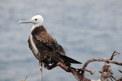 Fregata dell'uccello di bambino Fotografie Stock