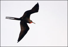 Fregata ptak Zdjęcia Stock