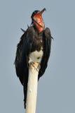 Fregata ptak otwiera swój usta Fotografia Stock