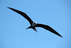 Fregate Bird Stock Image