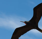 Fregatte, fliegend in blauen Himmel lizenzfreie stockfotos