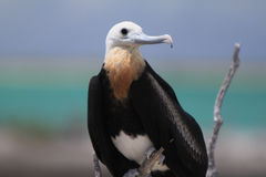 Fregatte-Vogel Stockfoto