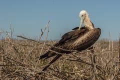 Fregatte-Vogel Stockbilder