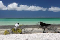 Fregatte-Vogel-Küken in den Nestern Lizenzfreie Stockbilder