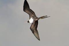 Fregattfågel Royaltyfri Fotografi