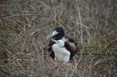 Fregattfågeln behandla som ett barn från Galapagos Royaltyfri Bild