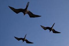 Fregattvögel in der Bildung, Galapagos Lizenzfreie Stockfotos