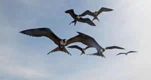Fregattvögel, die in Cabo San Lucas Baja California Mexiko fliegen lizenzfreie stockbilder