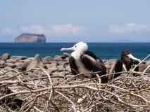 Fregattvögel, die in den Galapagos-Inseln nisten Lizenzfreies Stockfoto