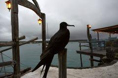 Fregatvogel, Ecuador, de Galapagos, Santa Cruz, Puerto Ayora Stock Afbeelding