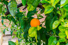 Frehs oranges on a orange tree (majorca) Royalty Free Stock Photography