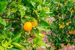Frehs oranges on a orange tree (majorca) Royalty Free Stock Images