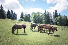 freiberberger de troupeau de cheval image stock