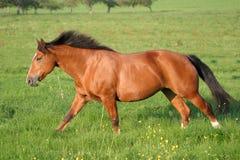 freiberger άλογο Στοκ Εικόνες