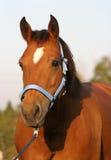 freiberger άλογο Στοκ Φωτογραφίες