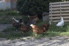Freie Hühner in einem Bauernhof Stockbild