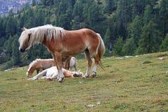 Freie Pferde in den Alpen Stockbild