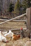 Freie Reichweiten-Hühner Stockfotos