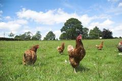 Freie Reichweiten-Hühner Lizenzfreie Stockfotografie