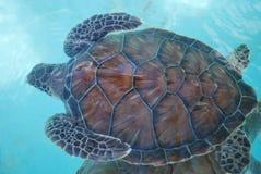 Freie Schildkröte Lizenzfreies Stockfoto