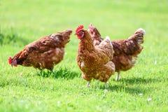 Freie und glückliche Hennen lizenzfreies stockfoto