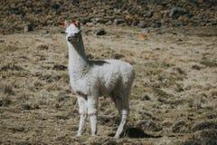 Freien des weißen Lamas in voller Länge stockfotografie