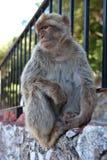 Freier Affe auf dem Felsen von Gibraltar gibraltar Lizenzfreies Stockbild