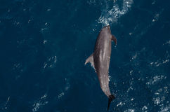 Freier Delphin Stockfotos
