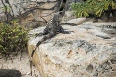 Freier Leguan Mexikos, der nahe dem Strand lebt stockbilder