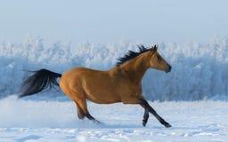 Freier Mustang der Kastanie auf dem schneebedeckten Gebiet Stockbild