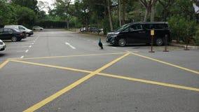 Freier Pfau in einem Taxistand in Singapur lizenzfreies stockbild