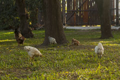 Freies Huhn im Garten Stockfoto