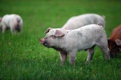 Freies Reichweiten-Schwein stockbild