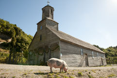 Freies Reichweiten-Schwein stockfoto