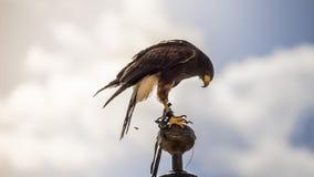 Freiheit, der Falke, der zum Tipp eines Glockenturms in Spanien geklettert wird, wird gelesen stockbilder