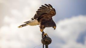 Freiheit, der Falke, der zum Tipp eines Glockenturms in Spanien geklettert wird, wird gelesen stockfotos