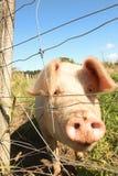 Freiland bewirtschaftete Schwein, Gisborne, Neuseeland Lizenzfreie Stockfotos