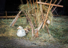 Freiland, gezüchtete Gans im Freien und Ente Lizenzfreies Stockfoto