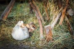 Freiland, gezüchtete Gans im Freien und Ente Stockfotografie