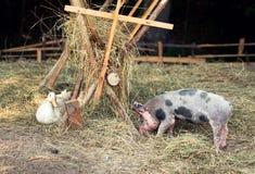 Freiland, gezüchtetes Ferkel im Freien, Gans und Ente Lizenzfreies Stockfoto