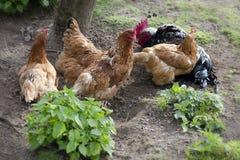 Freilandhühner Stockfotos
