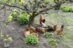 Freilandhühner lizenzfreies stockbild