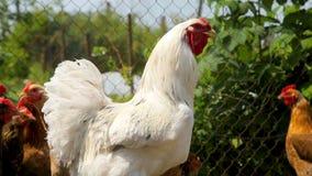 Freilandhühner durchstreifen das Yard auf einem Bauernhof stock video footage