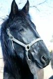 Freisan Dressage Horse. Antiqued photo of rare Freisan stock photos