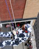 Freisan Freedom. A Cow escapes down the side of City Centre Building stock image