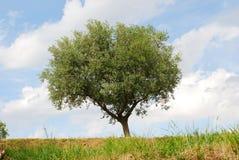 Freistehender Olivenbaum Stockbild