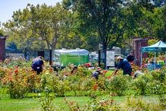 Freiwillige, die eine Hand in einem Rosengarten leihen lizenzfreie stockfotografie