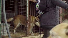 Freiwillige, welche die Hunde für einen Weg nehmen stock footage